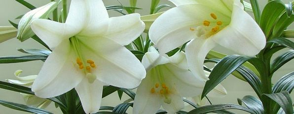 Lilies